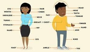 cuerpo humano en inglés